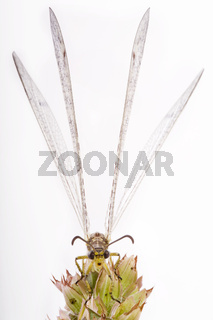 Gefleckte Ameisenjungfer (Euroleon nostras) - adult antlion (Euroleon nostras)
