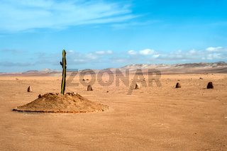 The only plant for many kilometers in the desert region of Tacna, Peru