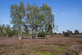 Birken in der bluehenden Heidelandschaft