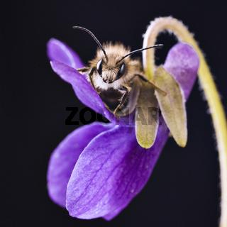 Mauerbiene (Osmia) * mason bee - mason bees (Osmia)