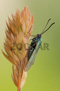 Sonnenröschen-Grünwidderchen (Adscita geryon)