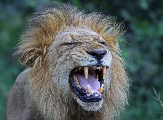 male Lion, South Africa
