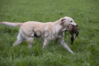 Labrador Retriever im Jagdeinsatz