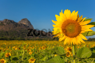 Sunflower field with a background mountain