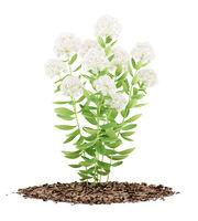 flowering sedum plant isolated on white background