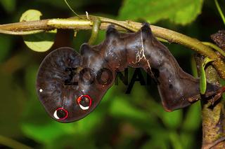 Hawk Moth Caterpillar, Chorla Ghat, Maharashtra