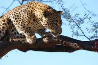 Namibia, Leopard, Beute, prey