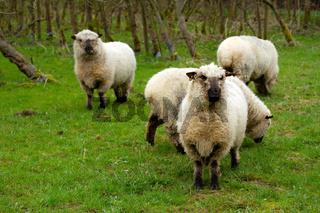 Schafe in Deutschland