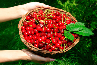 Woman's Hands Holding Basket of Ripe Cherries