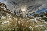 Pennisetum in the garden covered with snow in the sunshine and dark clouds