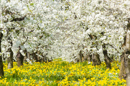 Many blooming apple trees in row on field with spring flowers