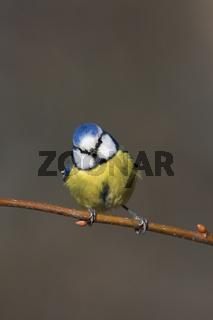 Blaumeise, Parus caeruleus, Blue Tit