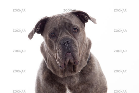 Bull mastiff is looking