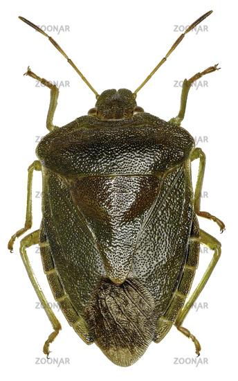 Green shield bug on white Background  -  Palomena prasina  (Linnaeus, 1761)