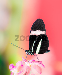 Tropical Passion-vine butterfly