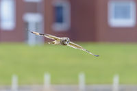 Short Eared Owl in city, Asio flammeus, Sumpfohreule in Stadt