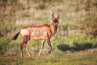 Red hartebeest in the grass.