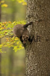 Kehrtwende am Baum... Steinmarder *Martes foina*
