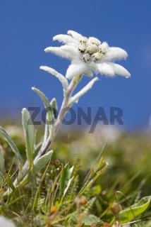 Edelweiß Steiermark, Österreich (Leontopodium nivale)