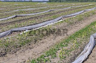 gruener Spargel , Aspagurus, waechst auf Feld in Brandenburg