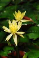 Nymphaceae Mexicana Zucc. - gelbe Seerose