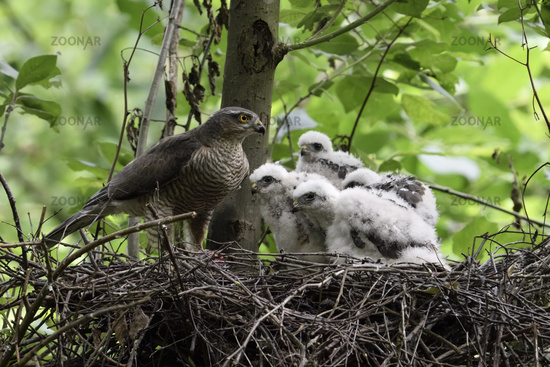 proud mother... Sparrowhawk *Accipiter nisus*