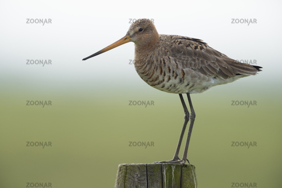 on a fence post... Black-tailed Godwit *Limosa limosa*