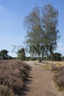 Birke in bluehender Heidelandschaft