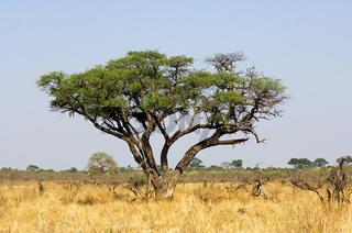 Schirmakazie (Acacia tortilis), Savuti, Botswana