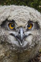 close up... Eurasian Eagle Owl *Bubo bubo*, fledgling, head shot