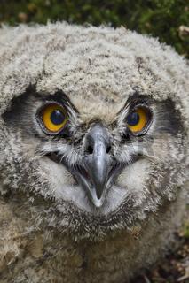 close up oder ziemlich dicht d'ran... Europäischer Uhu *Bubo bubo*, Jungvogel