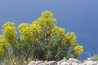 Spurge plant in Croatia