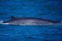 Minke Whale in Ocean