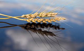 Wheat Saskatchewan Canada