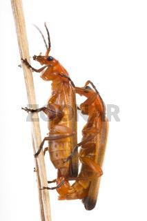 Rotgelber Weichkäfer (Rhagonycha fulva) - Common red soldier beetle (Rhagonycha fulva)