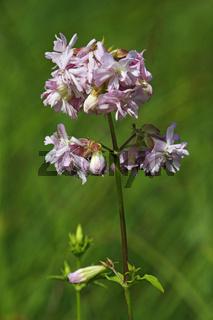 Common soapwort, Saponaria officinalis, Seifenkraut