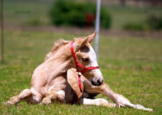 Foal resting in the meadow