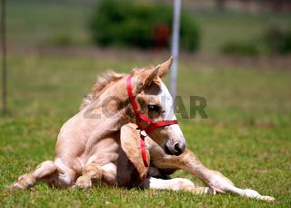 Foal retsing in the meadow