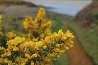 Common gorse (Ulex europaeus)