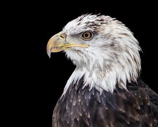 Bald Eagle XX