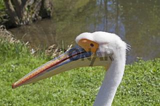 Kopf eines Pelikans