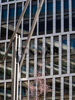 Junger. blühender Kirschbaum vor spiegelnder Fassade von modernem Bürogebäude in der Hafencity Hamburg, Deutschland bei Tageslicht und gutem Wetter.