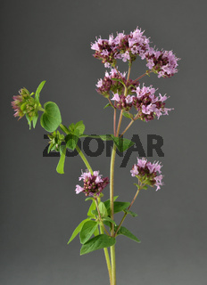 Oregano auf grau - Oregano on gray background