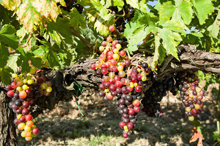 Sunny colored grapes before becoming red