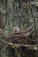 sitting on eggs... Fieldfare *Turdus pilaris*