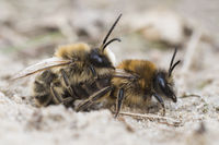 Mining bee, Andrena barbilabris