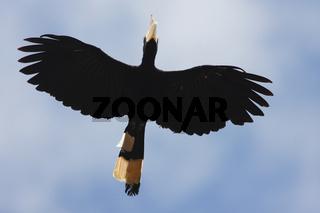 Orienthornvogel oder Weißhelm-Hornvogel, Borneo, Malaysia