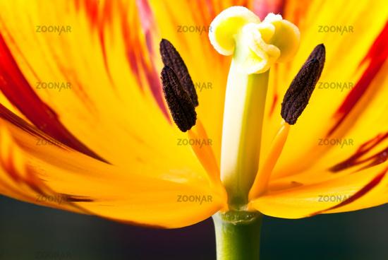 Tulip flower t.s. V3