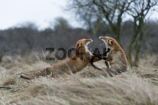 in heftigem Streit ... kämpfende Rotfüchse *Vulpes vulpes*