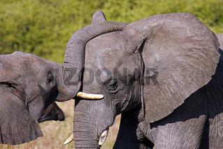 Rüsselnde afrikanische Elefanten (Loxodonta africana) im Chobe Nationalpark, Botswana